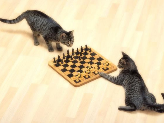 Chess-cat