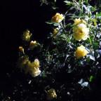 mein Rosenstock bei Nacht