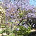 Jacaranda Trompetenbaum