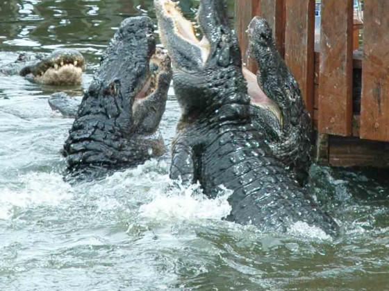 Aligatoren