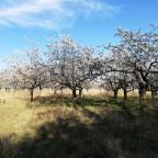 Kirschbaumplantage