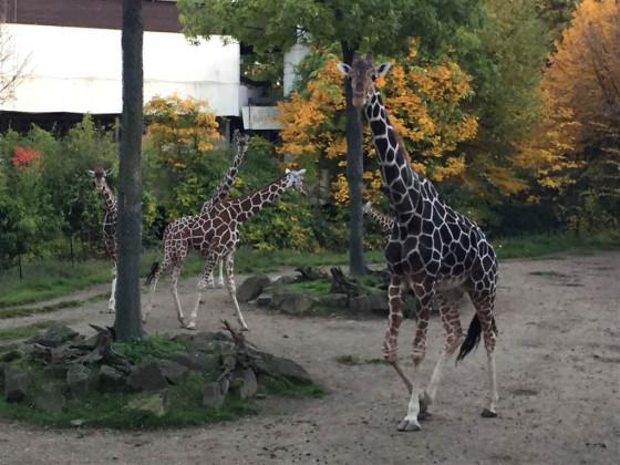 der giraffenflüsterer hirni im duisburger zoo