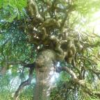 der verschlungene Baum